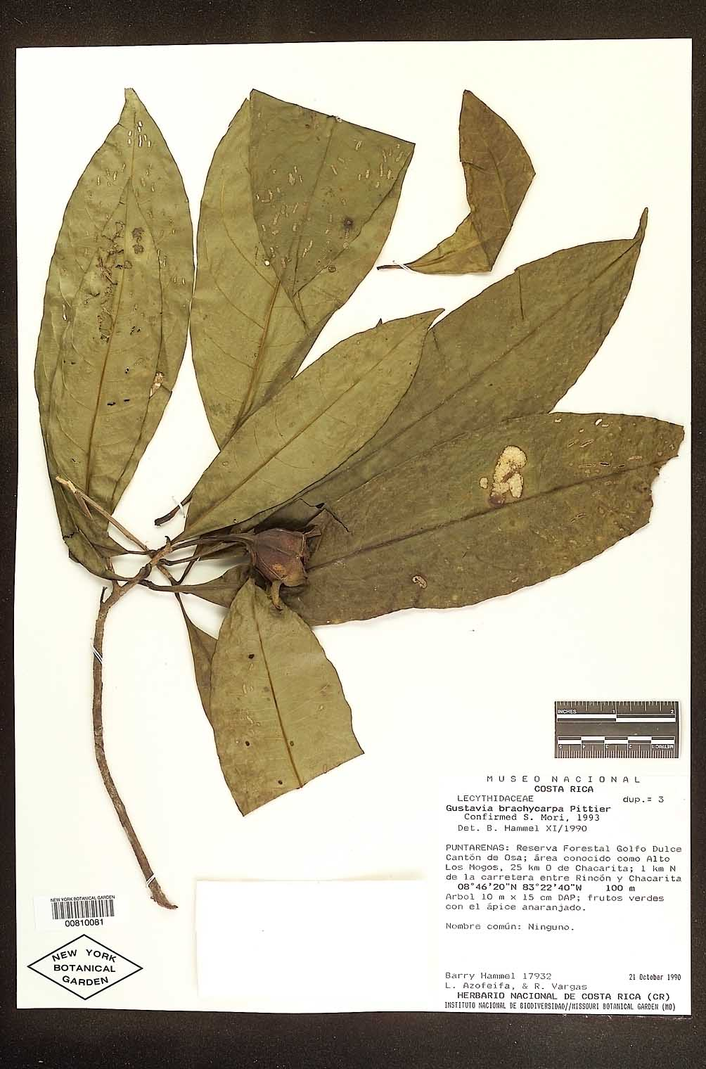 Herbarium sheet of Gustavia brachycarpa at NY. Photo by NY.
