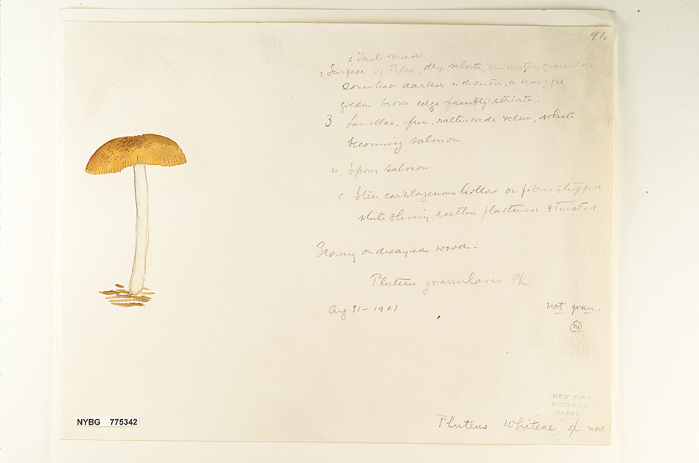Image of Pluteus whiteae
