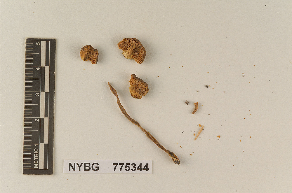 Image of Pluteus washingtonensis