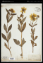 Bidens laevis (L.) Britton, Sterns & Poggenb.