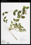 Herbarium sheet of Lonicera japonica. Photo by NY.