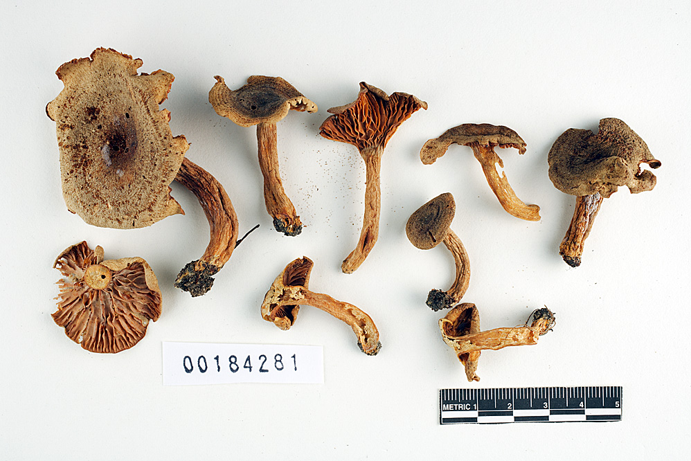 Image of Lactarius irregularis