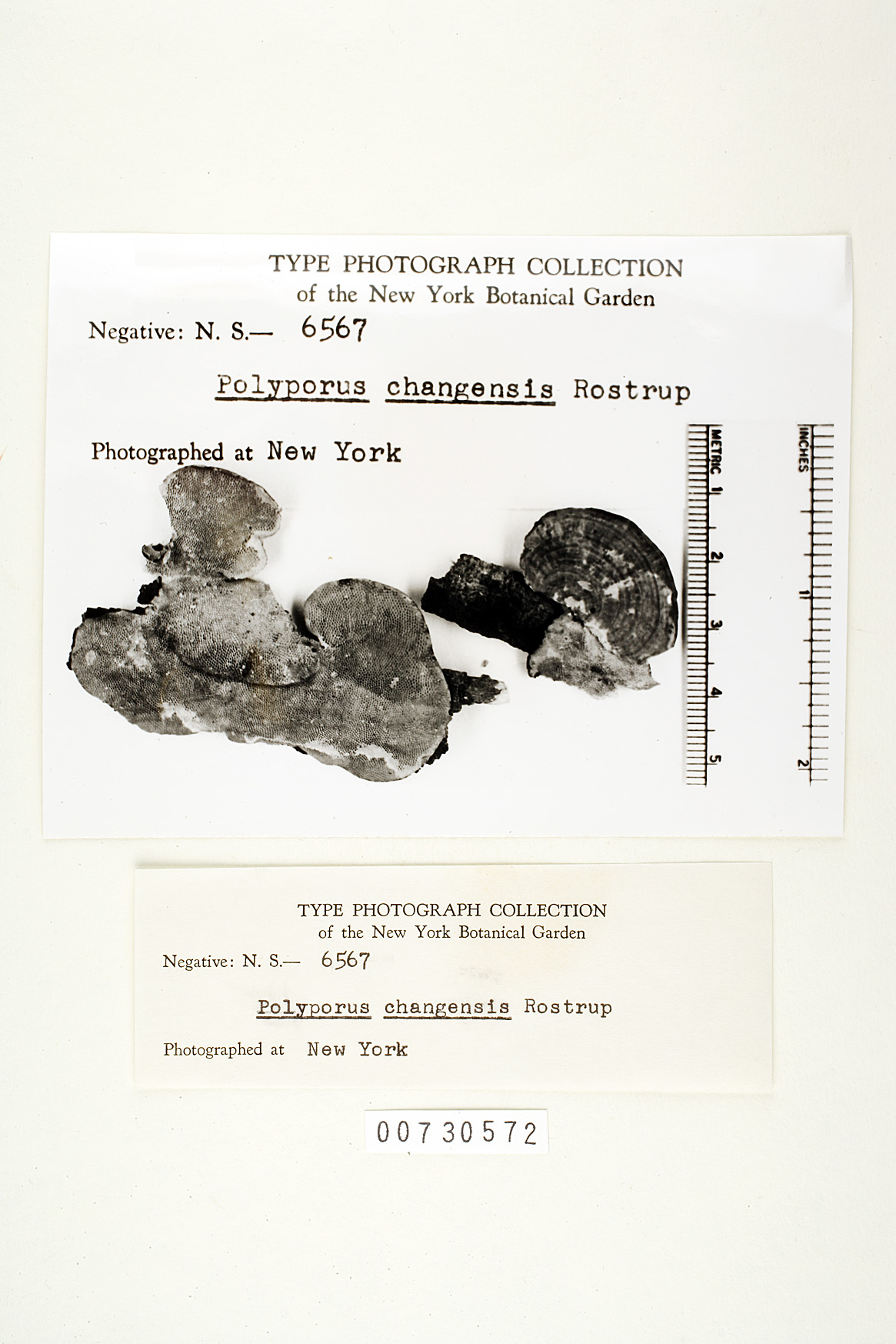 Image of Polyporus changensis