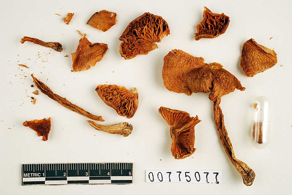 Image of Hydrocybe earlei