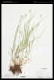 Carex mitchelliana M.A.Curtis