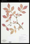 Herbarium sheet of Euonymus alatus. Photo by NY.