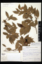 Herbarium sheet of Eschweilera compressa at NY. Photo by NY.
