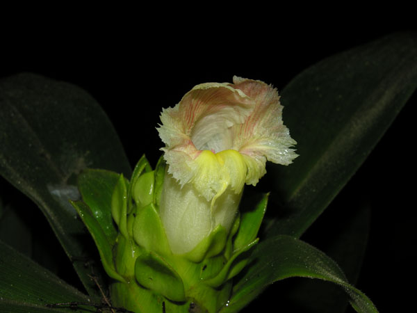 Inflorescence Of Costus Guanaiensis. Photo By R. Aguilar.