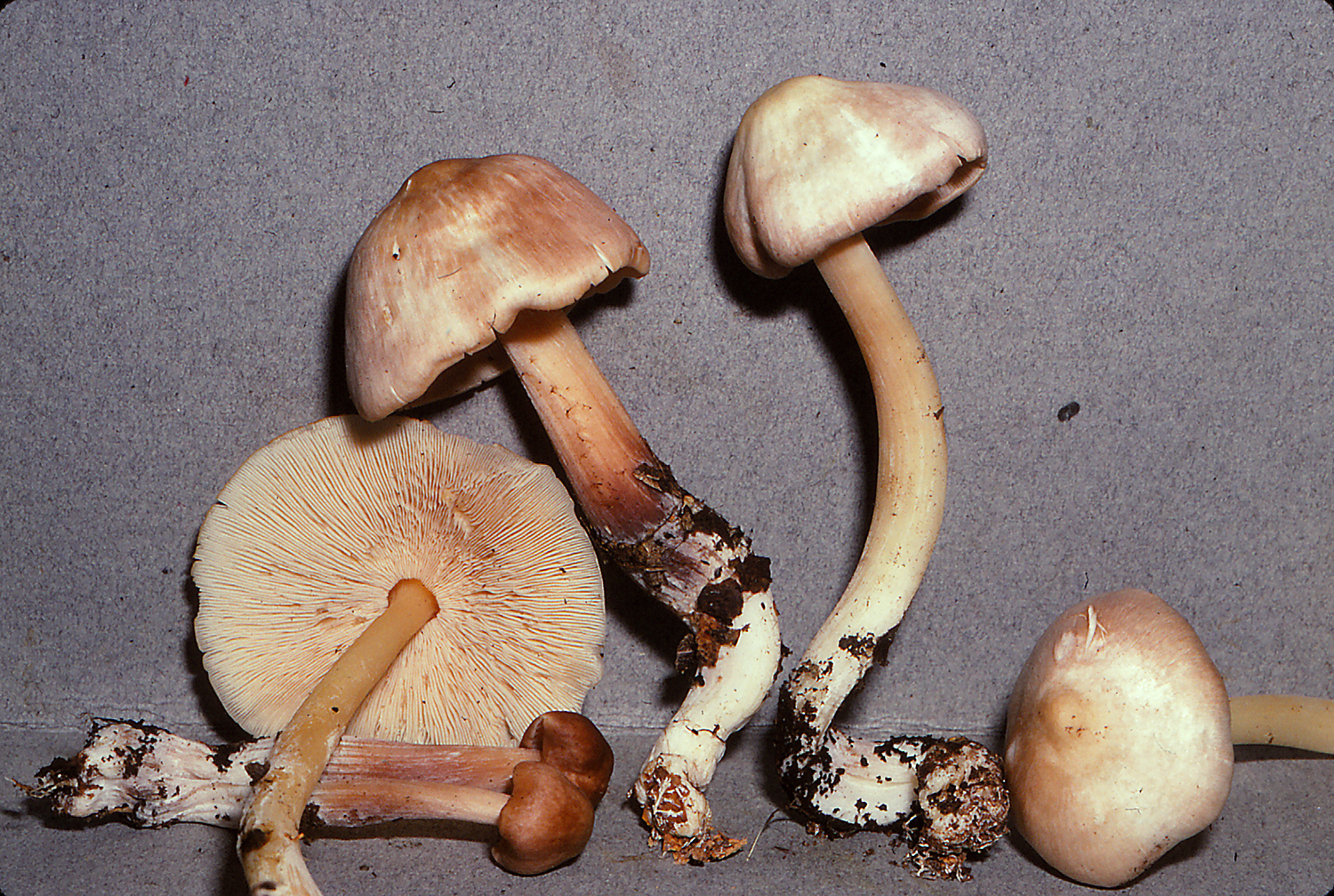 Rhodocollybia pandipes