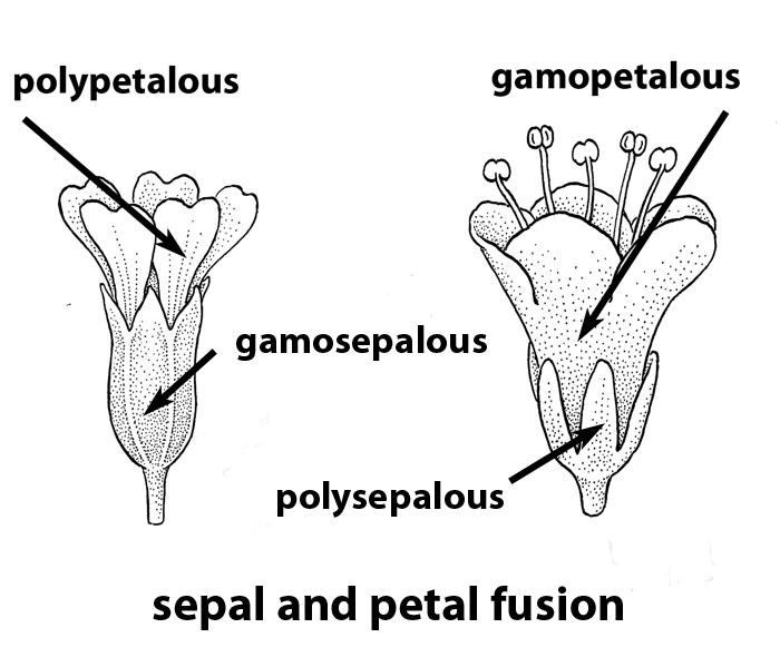 Fusion (u003dconnation) Of Sepals And Petals. Drawing By B. Angell.