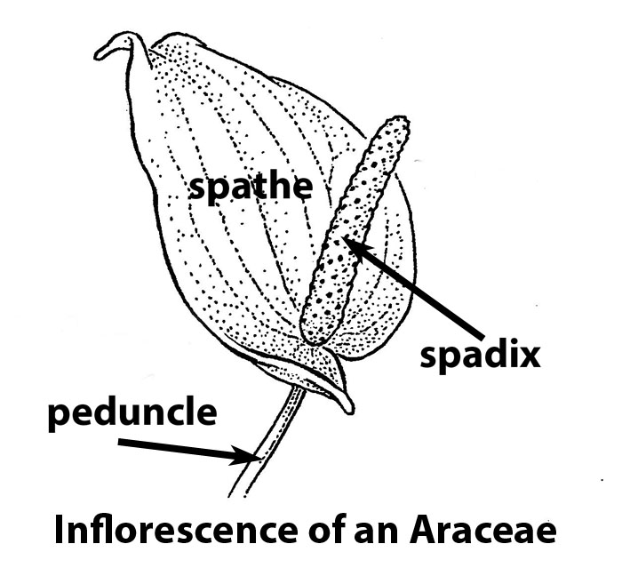 Inflorescence of an Araceae. Drawing by B. Angell.