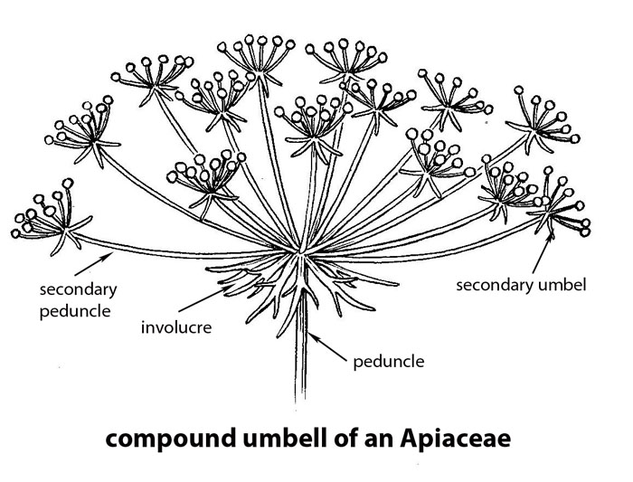 A Compound Umbell Of A Species Of Apiaceae. Drawing By B. Angell.