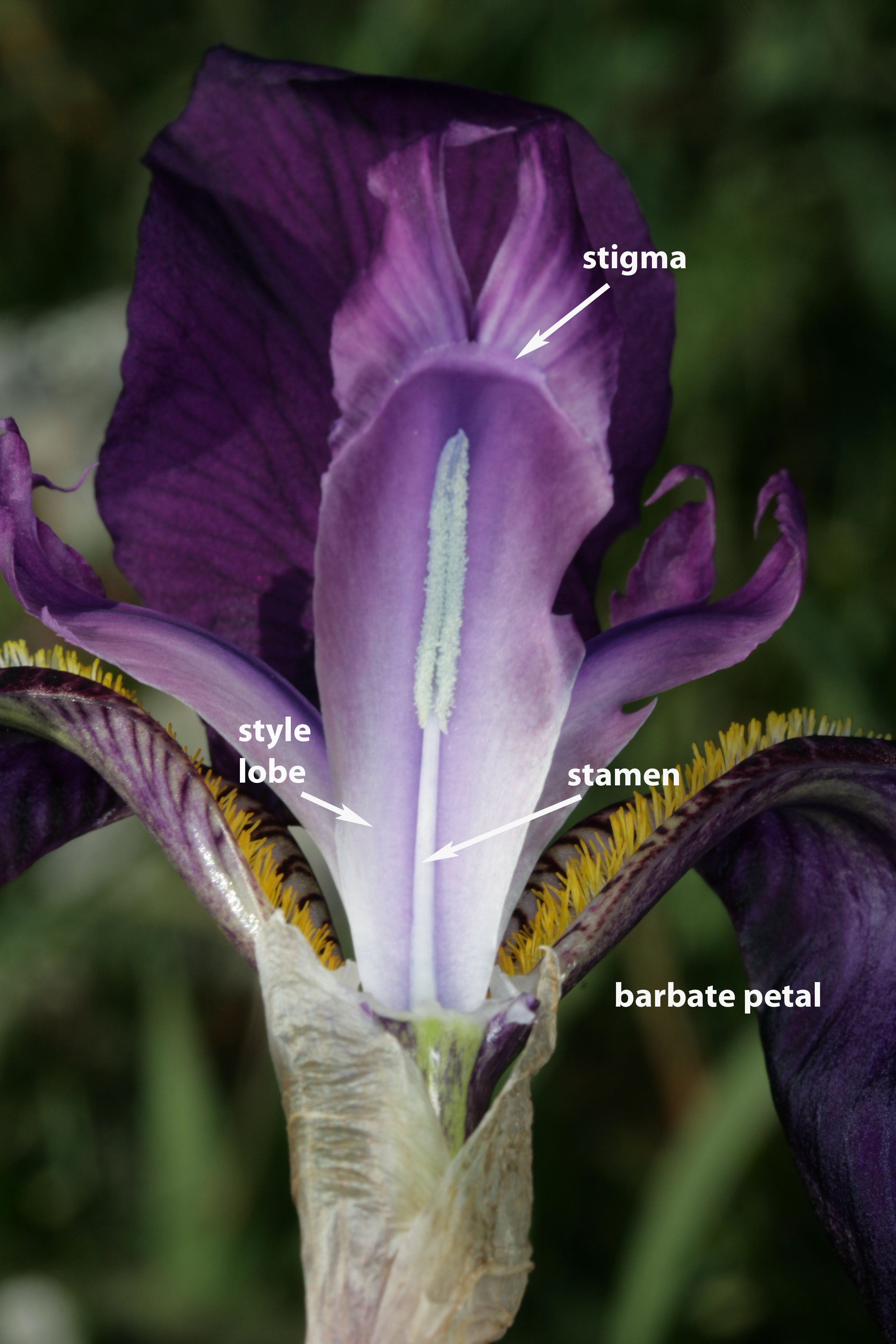 Flower Of A Species Of Iris. Photo By S. A. Mori.