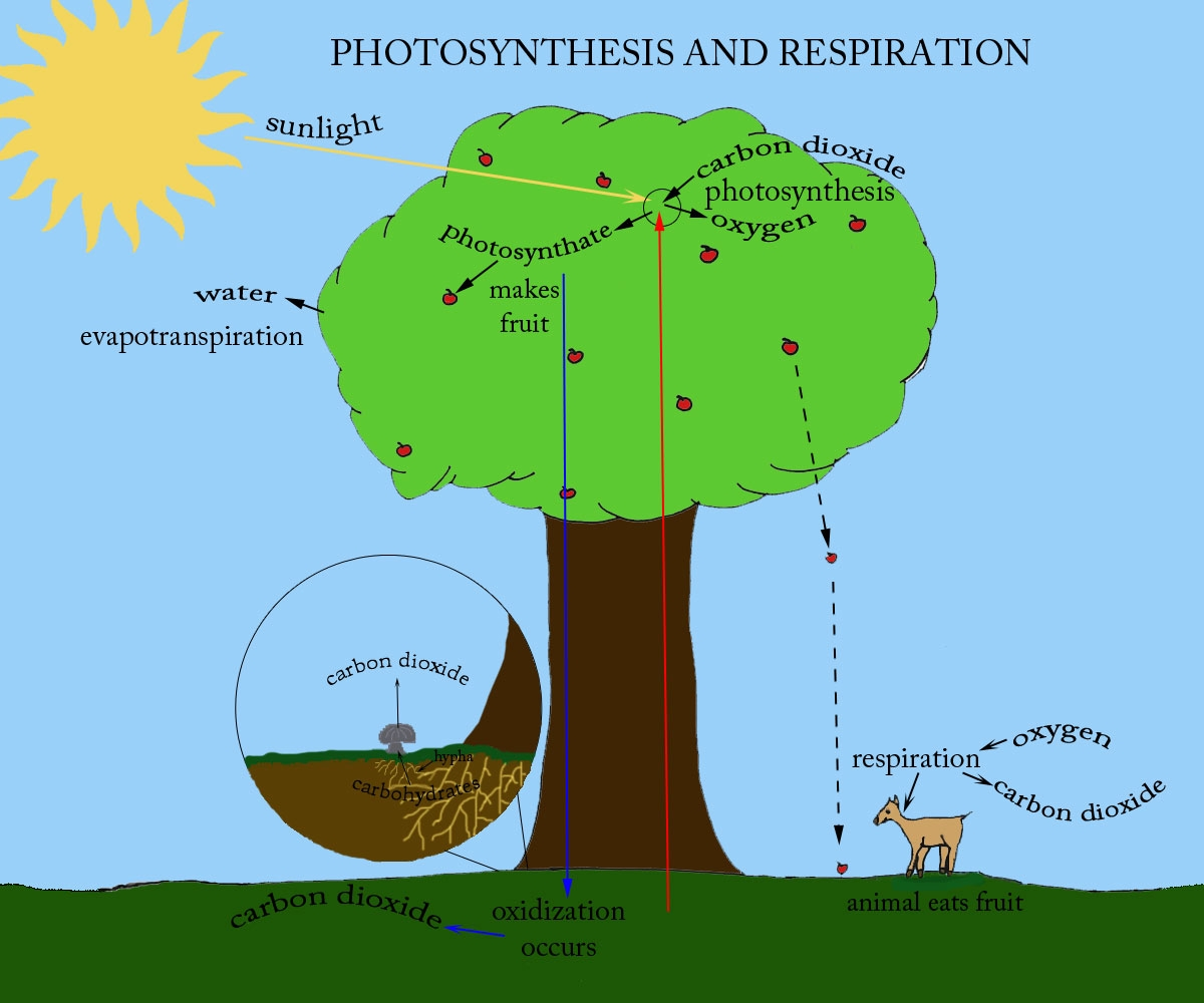 definition | photosynthesis