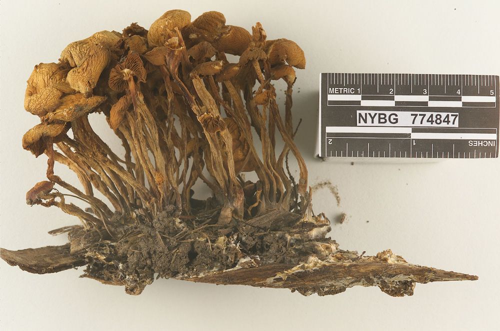 Image of Agrocybe occidentalis