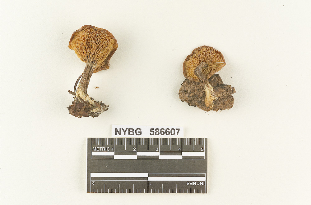 Image of Clitocybe stercoraria