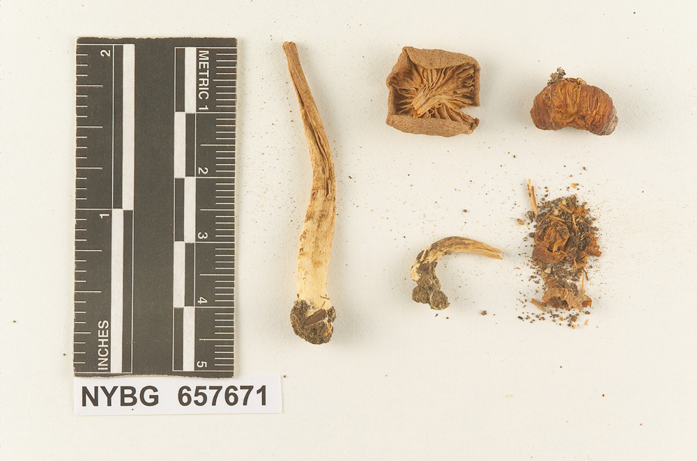 Image of Clitocybe testaceoflava