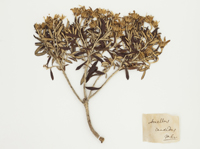 Image of plant collected in Captain Hooks first voyage