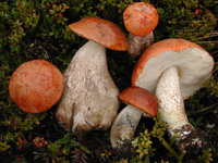 Image of Costa Rican Fungi