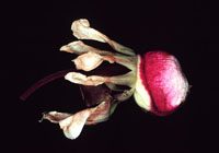 Image of Lecythidaceae plant